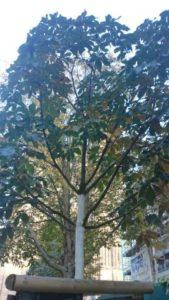 BK_Baum